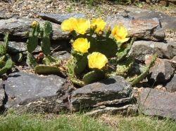 Rock Garden Cactus