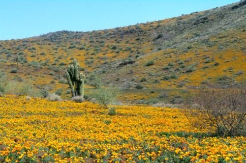 There are a few saguaros growing among the flowers.