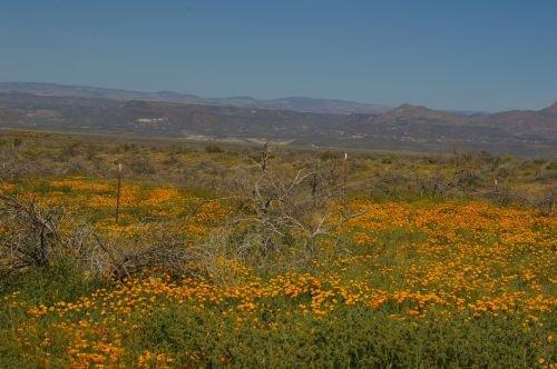 Between San Carlos and Peridot Mesa. These are California Poppies.