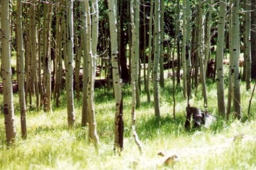 Lockett Meadow aspens.