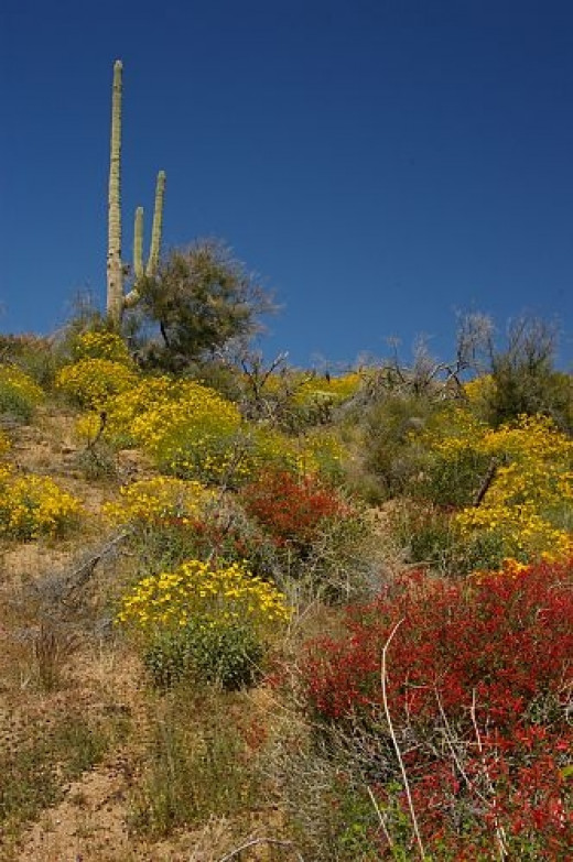 Saguaro top left, yellow Brittlebush, red Chuparosa. Spring flowers.
