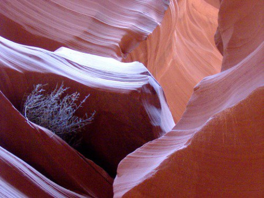 The only plant I know of that survives in the canyon. Lower Antelope Canyon.