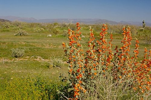 Along the route to Lake Pleasant before the turnoff. Those orange flowers on the right are Desert Mallow.