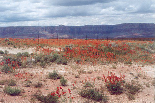 Blooming Desert Mallow in the foreground, Vermilion Cliffs in the background.