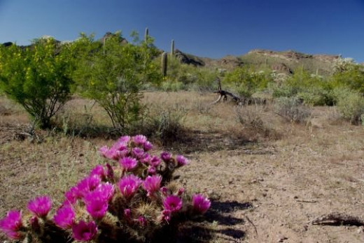That's a Hedgehog Cactus in the foreground. These plants are rare. The tiny fruits taste a little like strawberries. The flesh has a nice flavor, and is good to eat when it's hot and you need to cool down; you should not eat it in winter. If you do e