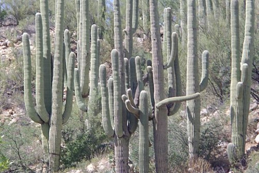 Catalina State Park, on the northwest face of the Catalinas, has thick stands of saguaros.