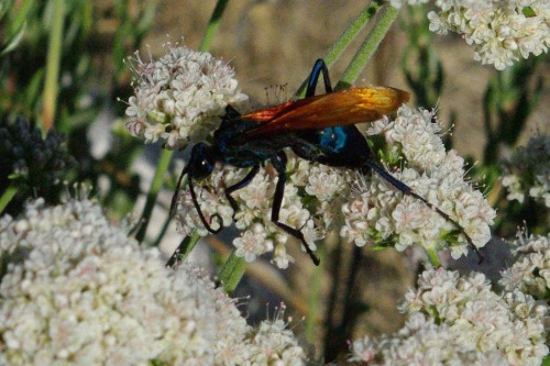 Tarantula hawk. Isn't he pretty! They're supposed to have particularly nasty stings, but they've never threatened me. Found on Mount Lemmon.