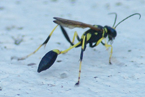 Wasps are easily found near hummingbird feeders.