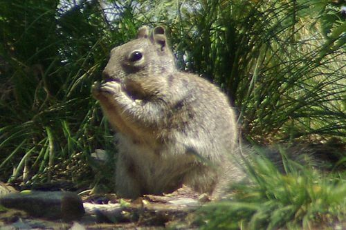 Rock Squirrel on Incinerator Ridge.