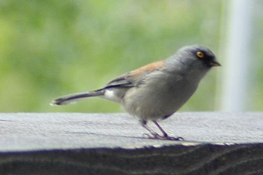 Yellow-eyed Junco. This was on the ledge at the Iron Door restaurant, by the ski slope. These juncos are very tame.