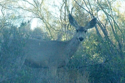 You can see wildlife when you least expect it. This is on my property. It is a Mule Deer.