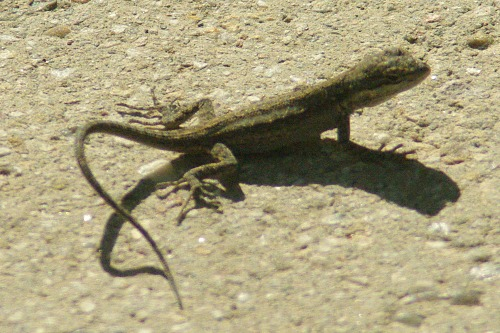 Ornate Tree Lizard. Urosaurus ornatus.