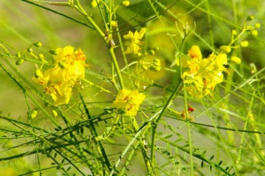 Palo Verde flowers. Just a few left. Cercidium microphyllum.