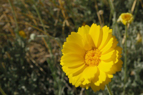 Desert Marigold. Baileya multiradiata. There was a huge patch at the end of the road. I didn't see any anyplace else.