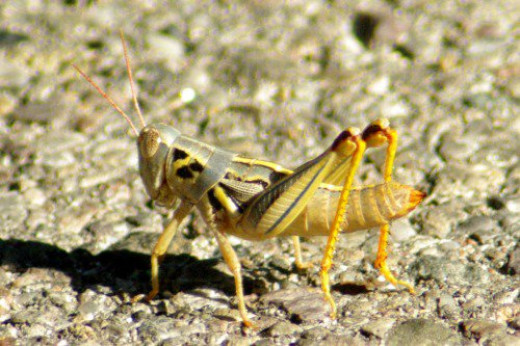 Young grasshopper in the road. Haven't figured out what kind.