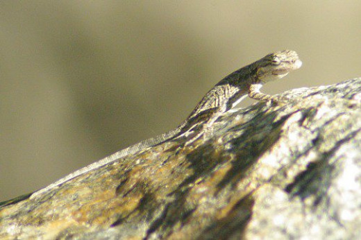 Ornate Tree Lizard. A different one.