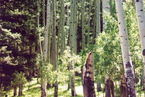 After you start to drive the loop around the meadow, you find yourself among the aspens.