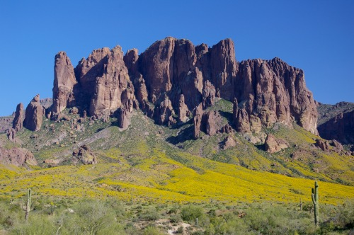 Brittlebush in the Superstition Mountains west of Phoenix.