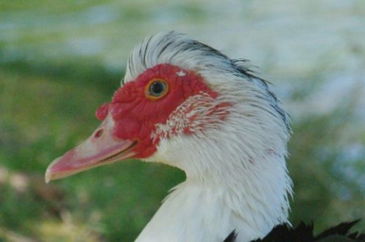 There are lots of domestically bred ducks turned feral, too. This is a Muscovy Duck.
