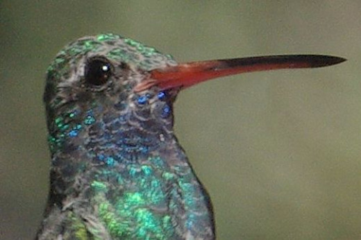 There are 16 species of hummingbirds that visit Arizona. This common hummer is a Broad-billed Hummingbird.