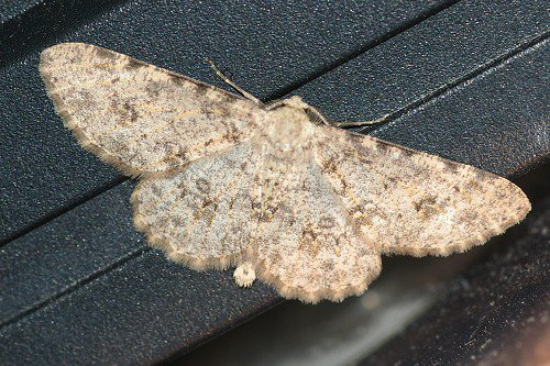 Geometrid moth in my home. These are common, so don't be surprised to see one.