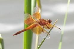 Sonoran Desert Dragonflies - Arizona
