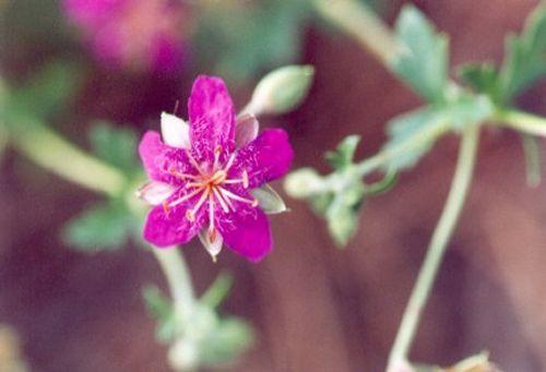 Among several beautiful species of flowers I saw was this Pineywoods Geranium, Geranium caespitosum.