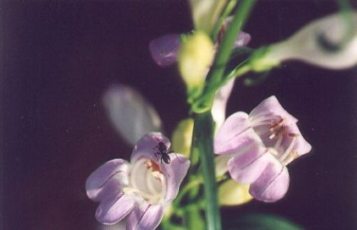 This is Palmer's Penstemon, Penstemon palmeri. This is the first time I saw this species.