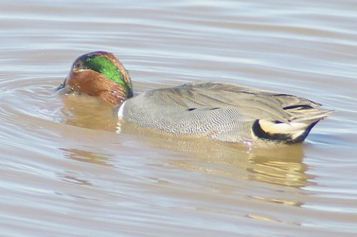 Green-winged Teal, Anas crecca