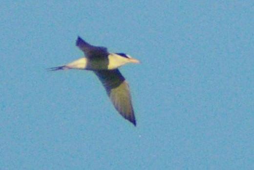 Least Tern, Sternula antillarum