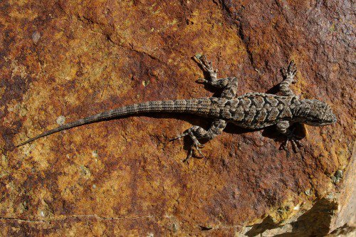 Ornate Tree Lizard.