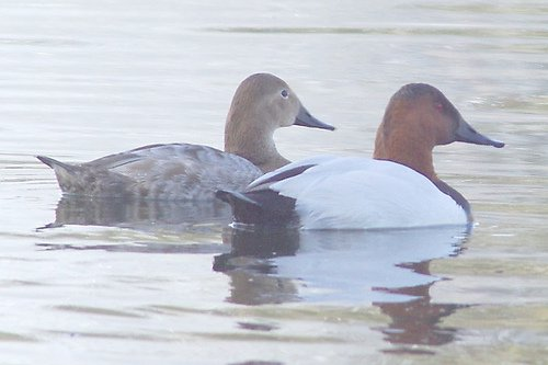 Canvasback, Aythya valisineria