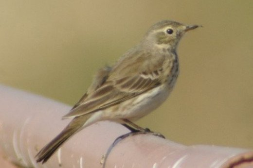 American Pipit, Anthus rubescens
