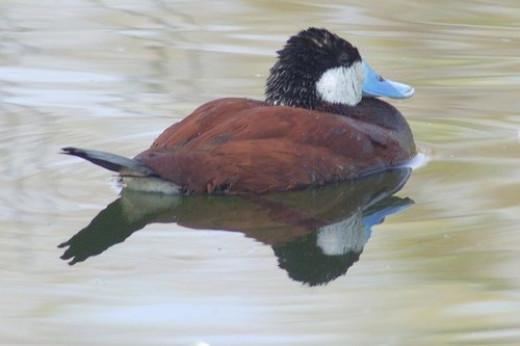 Ruddy Duck, Oxyura jamaicensis