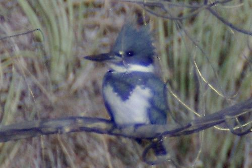 Belted Kingfisher, Megaceryle alcyon. These are very shy birds; it is difficult to get good photos.