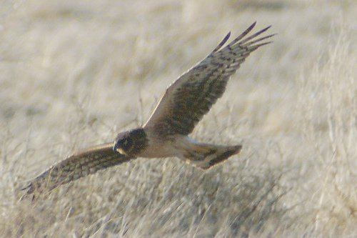 Northern Harrier, Circus cyaneus. He has the face of an owl; very distinctive.