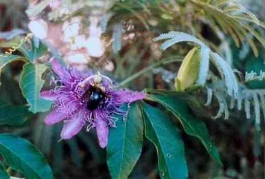 Passionflower. Passiflora incarnata.