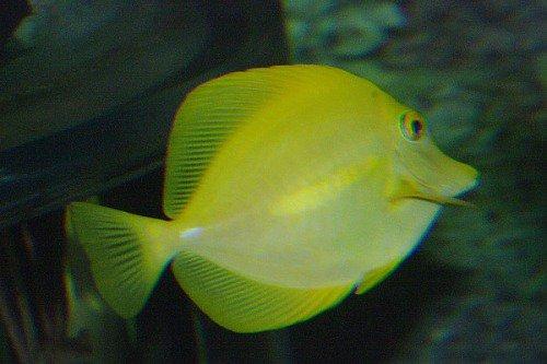 Yellow Tang. Zebrasoma flavescens. Lau`i Pala.