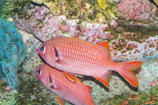 Soldierfish. Myripristis sp.