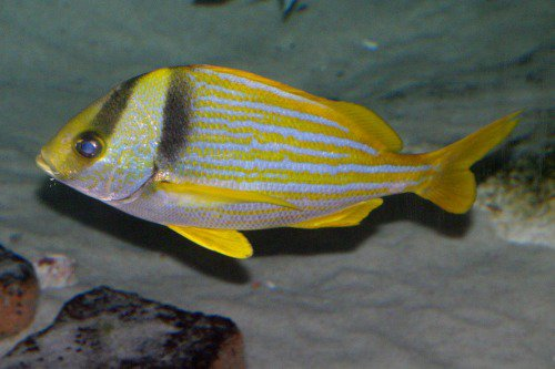 Resembles Lutjanus kasmira, Bluestripe snapper. Ta'ape. The Bluestripe lacks the dark stripes on the face.