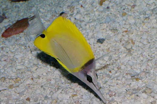 Forcepsfish. Forcipiger flavissimus. Lauwiliwili Nukunuku-'oi'oi.