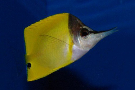 Forcepsfish, another view.