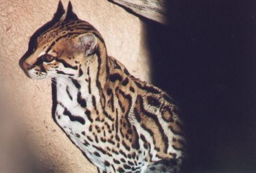 Ocelot. Rare. Seen mostly in Mexico.