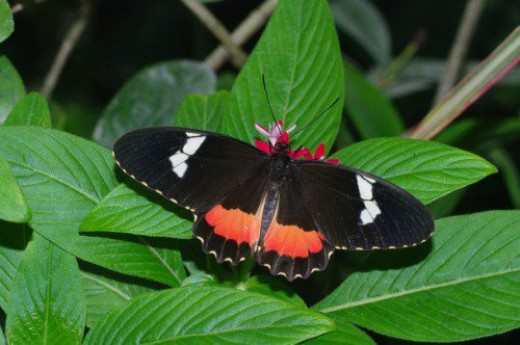 Heliconian. Probably Clysonymus Longwing. South America.