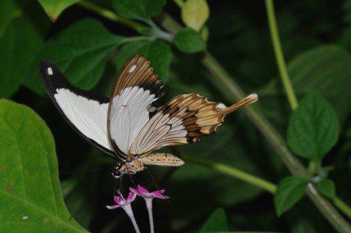 Mocker Swallowtail. Africa.