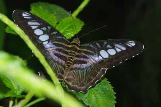 Violet Clipper. India, Australia.