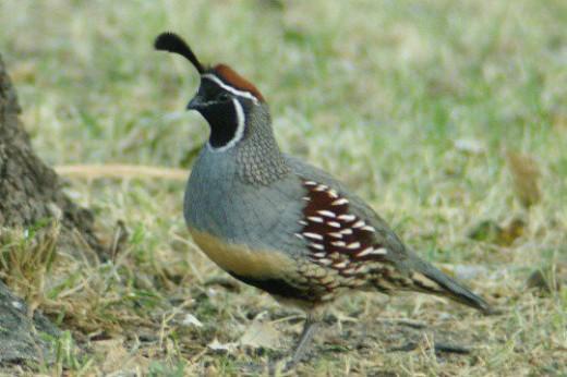 Gambel's Quail. Male. Common bird in Arizona.