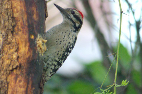 Ladder-backed Woodpecker. Male.