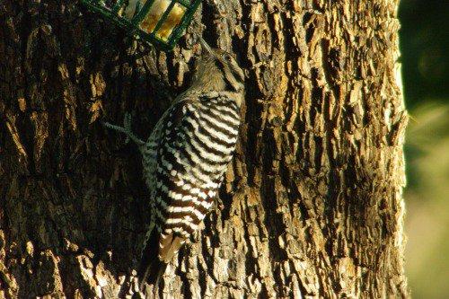 Ladder-backed Woodpecker. Female.