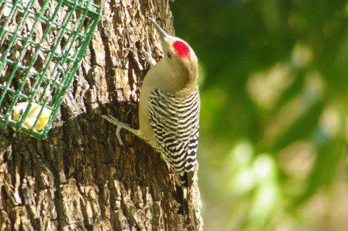 Gila Woodpecker. Male. He wants some of that suet.